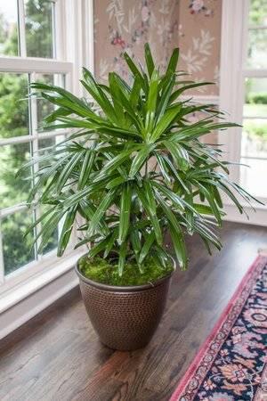 Комнатные растения пальмы
