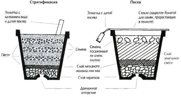 Как прорастить семена бонсай
