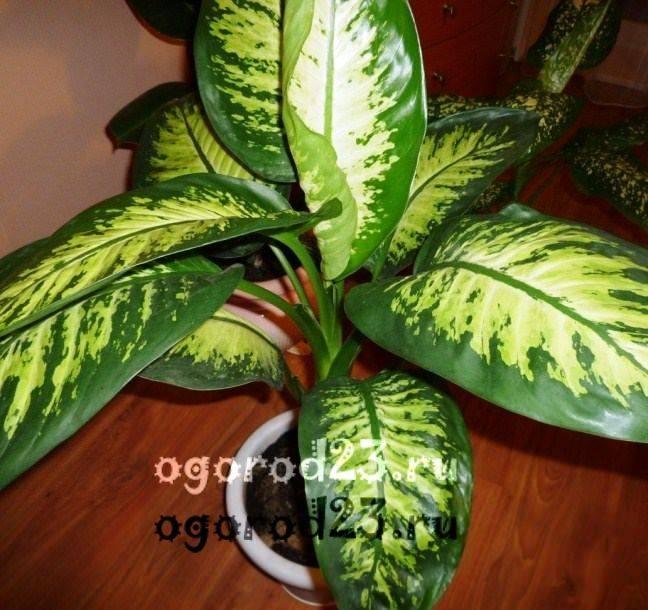комнатные растения, которые нельзя держать дома – фото и названия 3