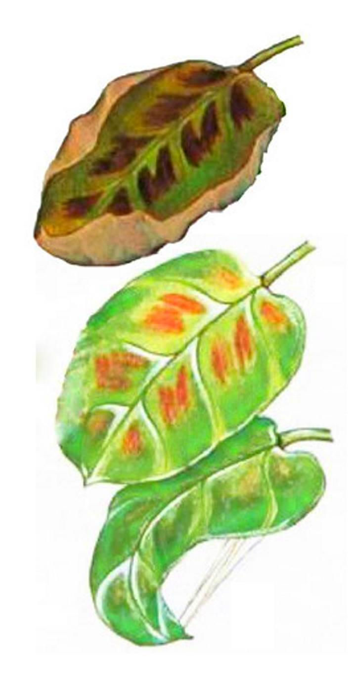 Маранта комнатное растение