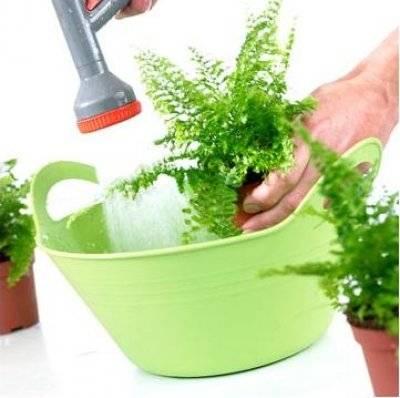 Как рассадить папоротник комнатный