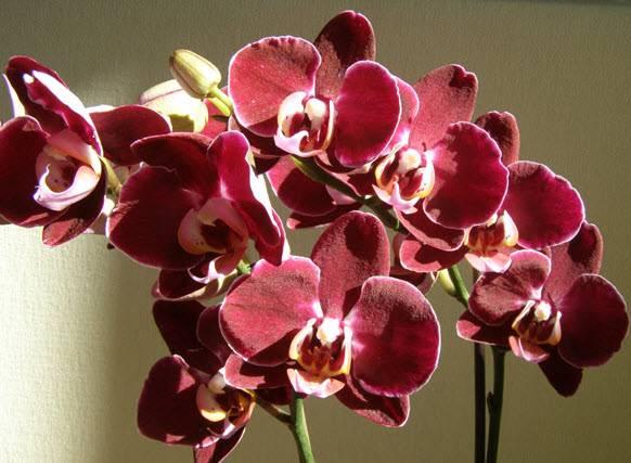Цветок орхидея уход в домашних условиях