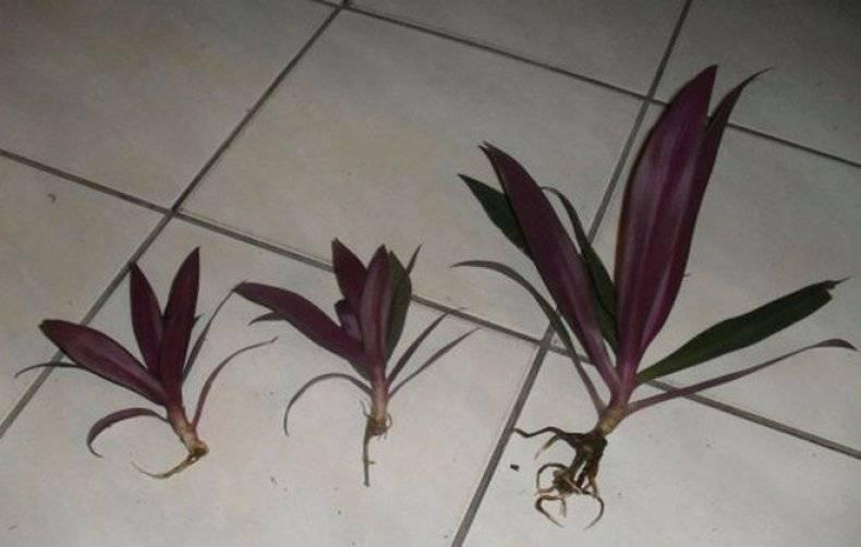 Цветок рио