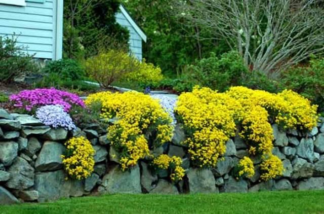 Многолетник с желтыми цветами