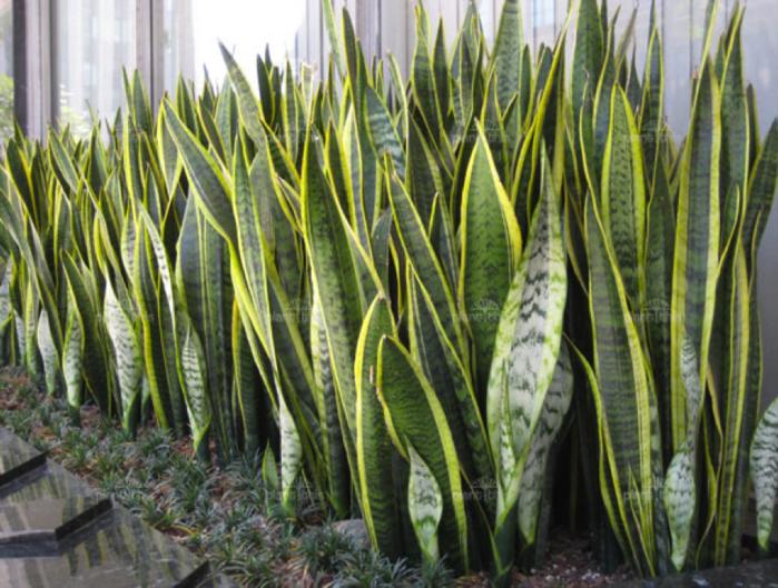 Растение щучий хвост
