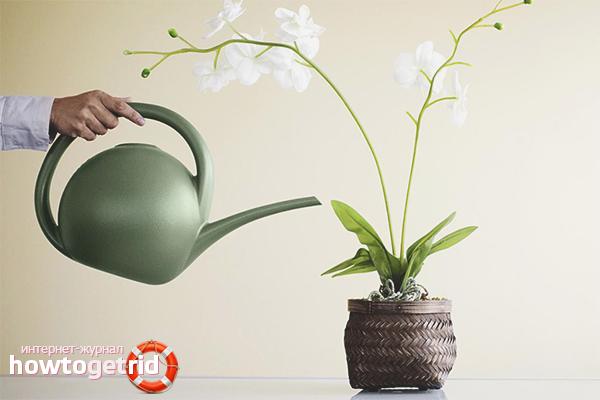 Как заставить фаленопсис цвести
