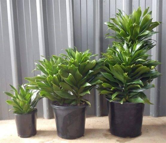 Плант комнатное растение
