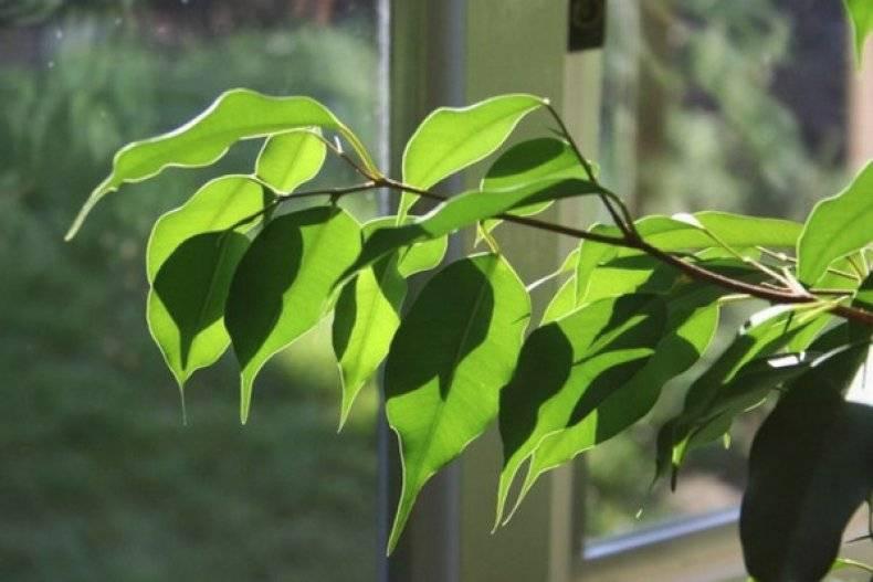 Опадают листья у фикуса что делать