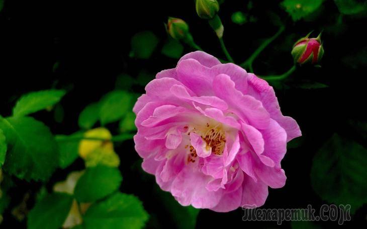 Листок розы