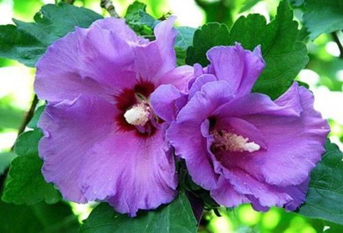 Растение гибискус садовый