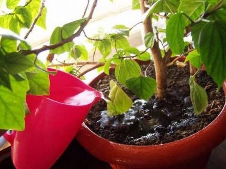 Гибискус садовый цветок смерти почему