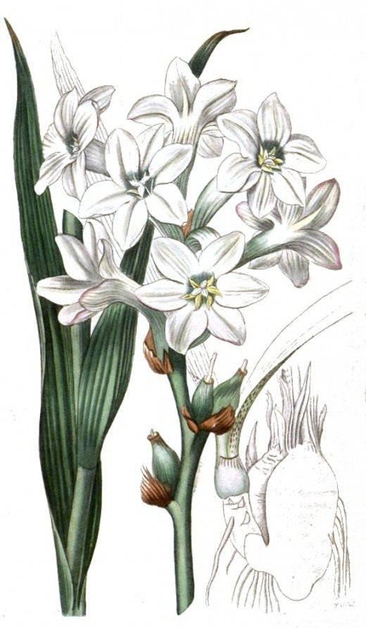 Тубероза выращивание