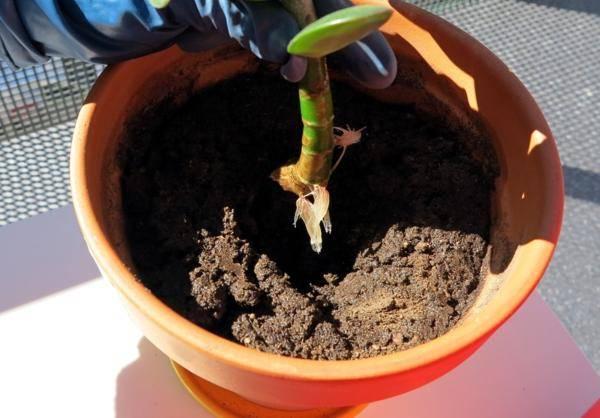 Как сажать денежное дерево в горшок