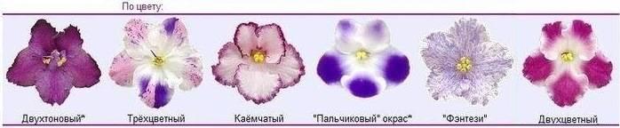 Цветы похожие на фиалки комнатные