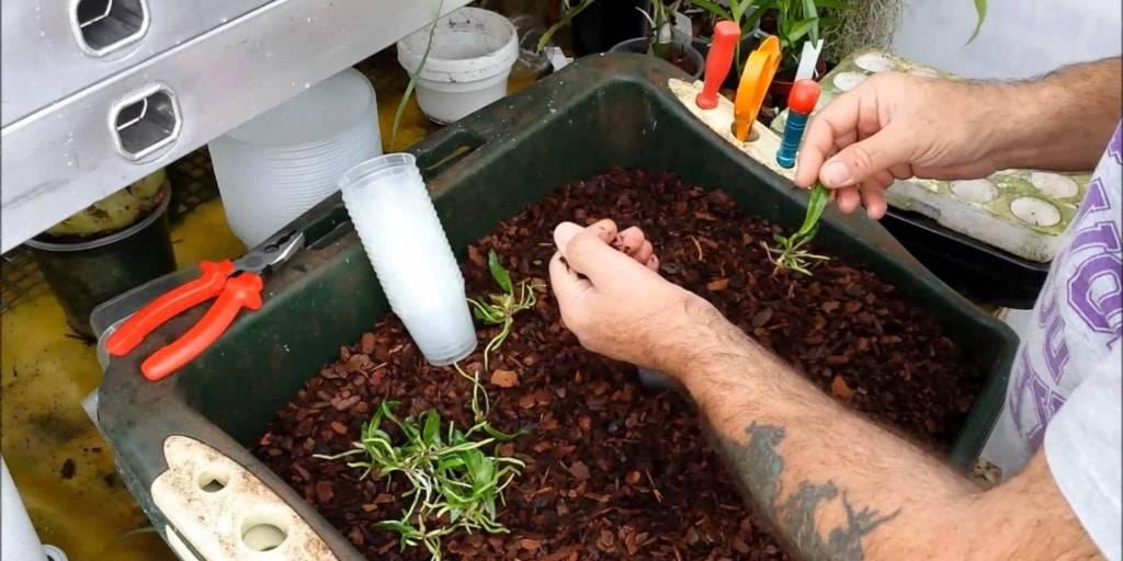 Как посадить семена орхидеи