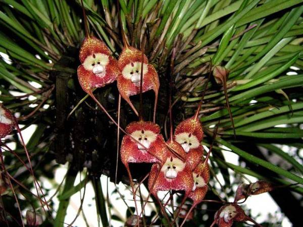 Орхидея обезьянка
