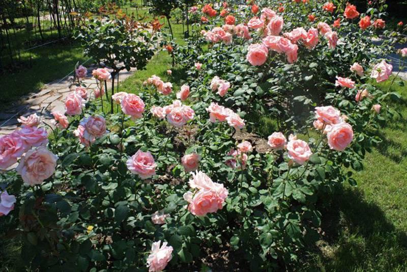 Как правильно сажать розы в грунт
