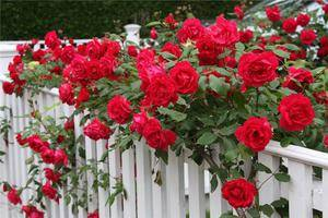 Роза вьющаяся сорта