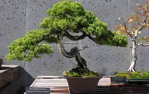 Деревце бонсай