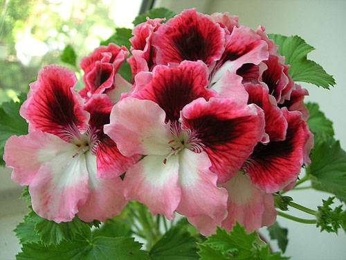 Королевская герань обрезка для пышного цветения