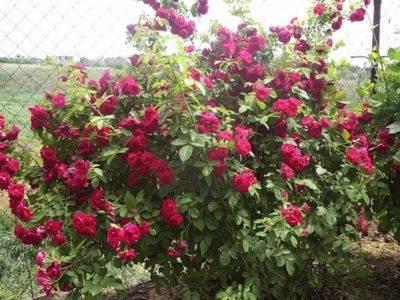 Плетистая роза дон жуан