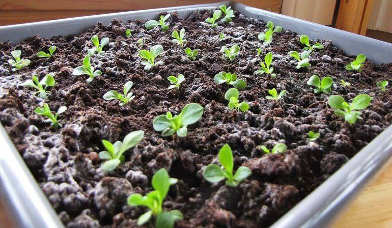 Пенстемон выращивание из семян