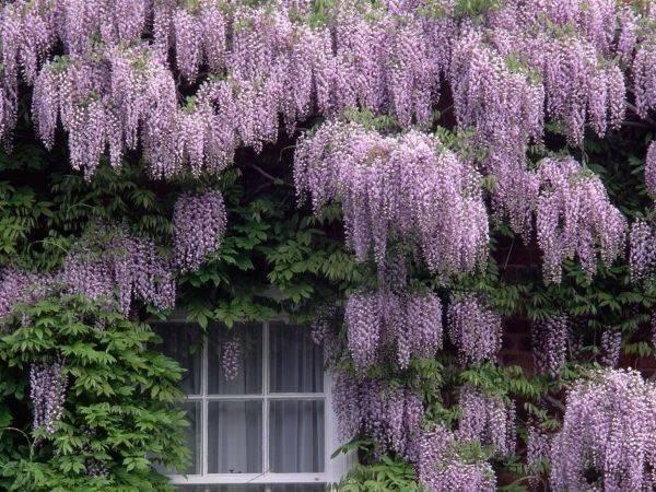 Вьющиеся растения для сада многолетние