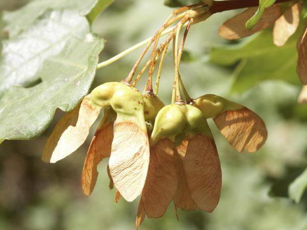 Как посадить клен из семян