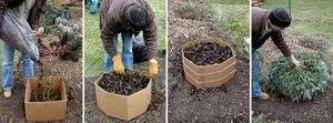 Выращивание флоксов в открытом грунте