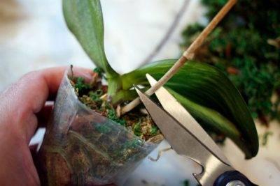 Почему на листьях орхидеи появляются липкие капли