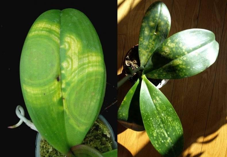 Белый налет на листьях орхидеи как лечить