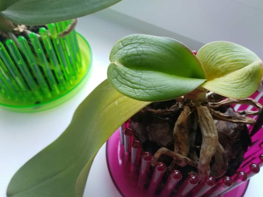 Как нарастить корни у детки орхидеи