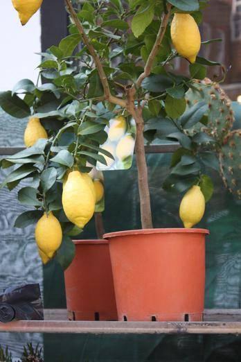 Лимон павловский