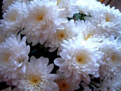 Хризантемы шаровидные выращивание и уход