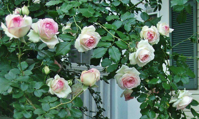 Как пересадить плетистую розу