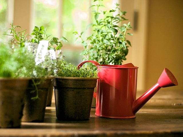 Как вырастить мяту дома на подоконнике