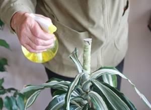 Почему у драцены желтеют кончики листьев