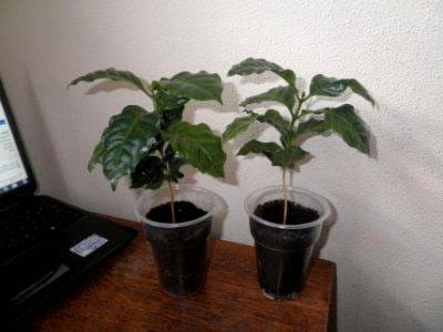 Как ухаживать за кофейным деревом