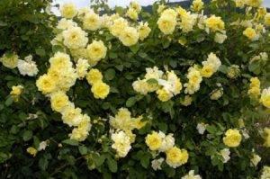 Плетистые розы цветущие все лето