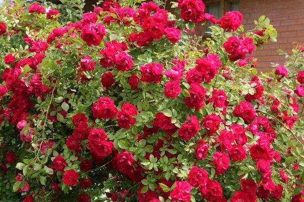 Отличие розы от шиповника