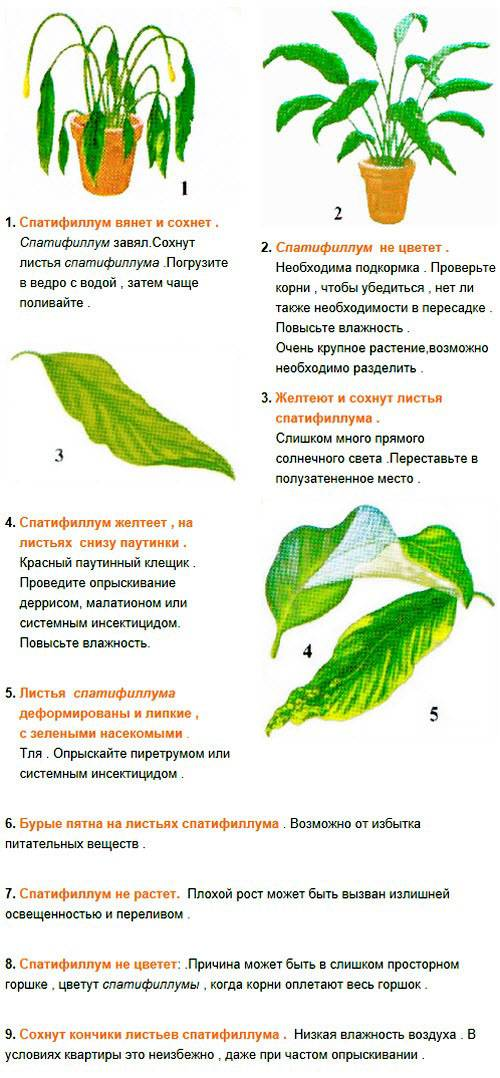 Spathiphyllum уход в домашних условиях