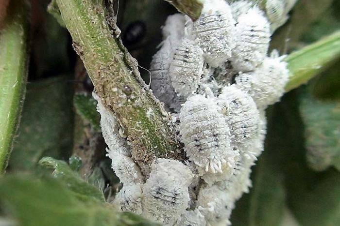 Почему скручиваются листья у каланхоэ