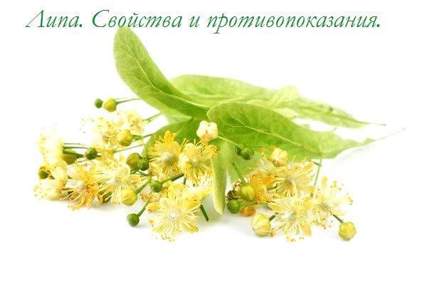 Чем полезны цветки липы