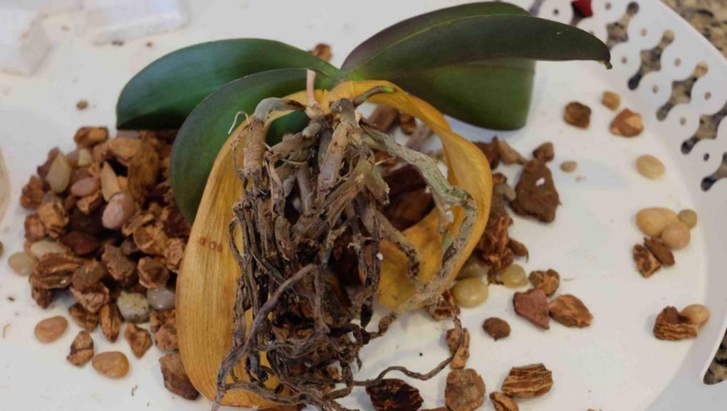 У орхидеи сморщились листья