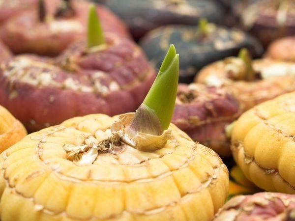 Как хранить луковицы