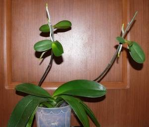 Фаленопсис уход после цветения
