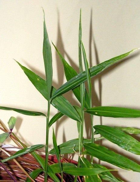 Растение имбирь