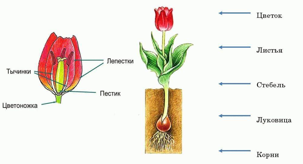 Размножение тюльпанов в картинках