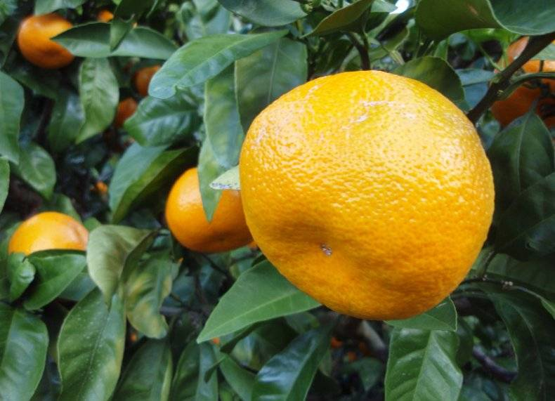 Цвет маленького мандарина