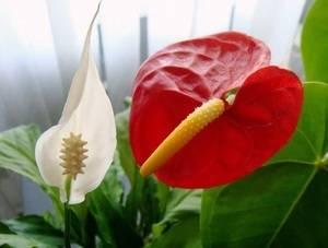 Цветы женское и мужское счастье как ухаживать